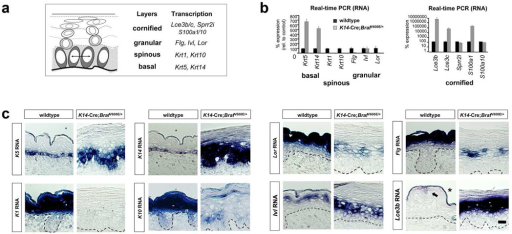 Expression of intermediate and late stage epidermal differentiation genes in K14-cre; BrafV600E mice(a) Differentiation markers used to identify basal (SB), spinous (SS), granular (SG), and cornified envelope (SC) keratinocytes. (b) Real-time PCR for gene expression at E17.5 skin reveals loss of spinous and granular differentiation markers in K14-cre; BrafV600E embryos and presence of late differentiation markers (Lce3b, Lce3c, Sprr2i, S100a1, S100a10). Error bars represent SD of four animals of each genotype. (c) E17.5 in situ hybridization of basal K5/K14, spinous K1/K10, granular Lor/Flg, involucrin (Ivl), and cornified envelope Lce3b keratinocyte gene expression. These studies show the loss of spinous and granular keratinocyte gene expression and pattern of Ivl and cornified envelope genes in upper layers. Suppl. Fig. S3 further localize gene expression by tyramide signal amplification. Scale bars, 20 µm.