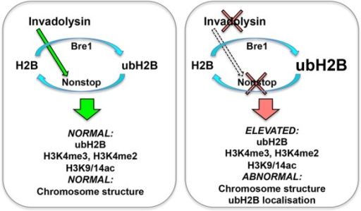 Model for the interaction between invadolysin, nonstop and bre1. We hypothesize that invadolysin affects higher order chromosome architecture through an effect on the balance of histone modification. Ubiquitination of histone H2B is accomplished through the concerted action of the bre1 ubiquitin ligase and the nonstop ubiquitinating protease. In the absence of invadolysin, we speculate there is decreased activity of nonstop, which would result in the accumulation of ubiquitinated H2B. In nonstop and invadolysin mutants, and in animals where Bre1 is overexpressed, ubH2B, H3K4me3, H3K4me2 and H3K9/14ac accumulate and abnormally-structured chromosomes are observed.
