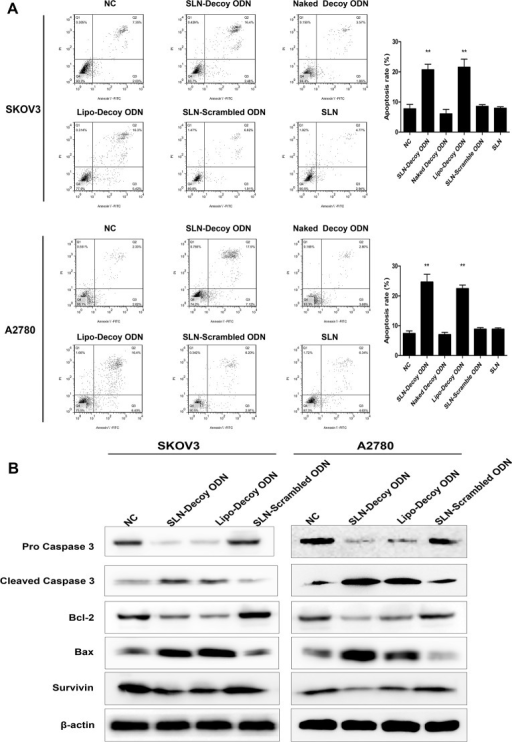 SLN-STAT3 decoy ODN complexes induce apoptosis of ovarian cancer cells.(A) SLN-decoy ODN induced a significant increase in apoptosis in SKOV3 and A2780 cells. After 48 hours of transfection, cell apoptosis was detected by annexin V-FITC/PI double-staining assay with flow cytometry. (B) Western blot assays showed that SLN-decoy ODN led to distinct up-regulation of Bax and cleaved caspase 3 and down-regulation of Bcl-2, pro-caspase 3 and Survivin. The data are expressed as the means ± SD of three independent experiments, ** P < 0.01 compared with NC.