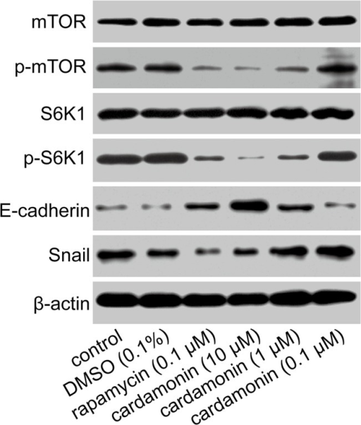 Effects of cardamonin on the phosphorylation of mTOR, S6K1 and the expression of E-cadherin, Snail.LLC cells were treated with different drugs for 24 h, and then the total protein was extracted. Analysis of protein expression of mTOR, S6K1, p-mTOR p-S6K1, E-cadherin and Snail was performed by Western Blot method. Expressions of mTOR, p-mTOR, S6K1, p-S6K1, E-cadherin, Snail and actin were showed as the immunoblot band (n = 3).