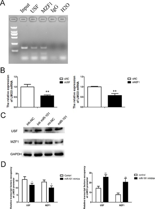 MiR-101 suppresses the binding of USF and MZF1 to the LMO3 promoter(A) USF and MZF1 bound to the LMO3 promoter. A ChIP assay was performed to detect the binding of USF and MZF1 to the LMO3 promoter in U251 cells. Normal mouse IgG was used as a negative control. (B) The expression of LMO3 was regulated by USF and MZF1. A real-time PCR analysis was performed 48 h after transfection with USF siRNA, MZF1 siRNA or a scrambled control. An independent sample t-test was used. **p < 0.01. (C) MiR-101 regulated the expression of USF and MZF1. Western blotting was performed 72 h after transfection with miR-101 mimics, miR-101 inhibitor or a negative control. GAPDH was used as an internal control. (D) The transcription factor occupancy of the LMO3 promoter was affected by miR-101. A ChIP assay was performed to evaluate the USF and MZF1 occupancy of the LMO3 core promoter. Left: U251 cells transfected with miR-101 mimics and a negative control. Right: U251 cells transfected with a miR-101 inhibitor and a negative control. An independent sample t-test was used. *p < 0.05. **p < 0.01.