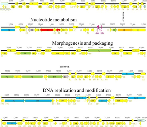Genomic organization of KPP10-like phage Ab06.The different ORFs are colored according to their putative function: yellow, unknown; red, nucleotide metabolism; orange, terminase; green, morphogenesis; blue, DNA replication.