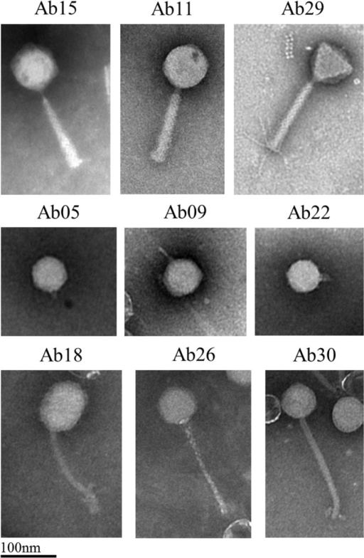 Electron microscopy examination of nine phages representative of the different genera observed in the present phage collection.Scale bar represents 100 nm.