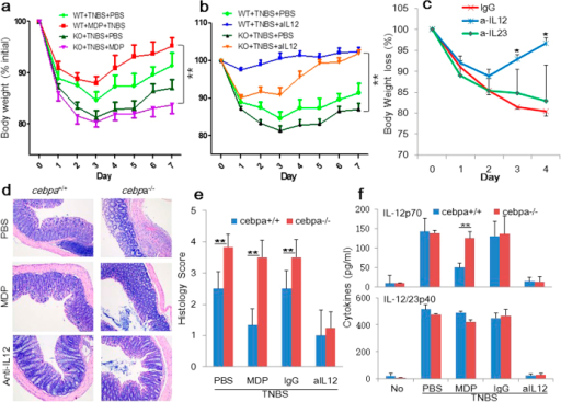 Role of C/EBPα and IL-12 in TNBS-induced colitis.(a) TNBS colitis was induced in WT and cebpα KO mice. MDP was administered i.p. on days –3, –2, and –1 (n = 9/group). Anti-IL12 antibody (b, c) or anti-IL-23 (c), or the control IgG were administrated on days 0, and 2 (n = 4/group). Mean body weight of three independent experiments with SE is represented. (c) H&E-staining of colonic tissues of NBS-, MDP- or anti-IL-12-treated mice harvested on day 4 are shown in 100x magnification showing massive infiltration of mononuclear cells as well as destruction of crypt architecture. (d) Histology scores of the colonic tissues harvested on day 4. **p < 0.01. (f) Sera from the mice were collected on day 4 and analyzed for cytokine production by ELISA (IL-12 and IL-23p40). **p < 0.01.