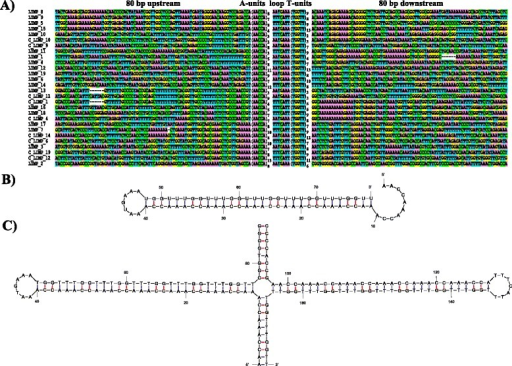 Sequence and predicted secondary structure of LIMP repeats. a Alignment of all LIMP copies along with 80 bp of flanking sequence from both sides. LIMPs have been ordered so as to see the similarity between their flanks. For nine LIMPs, the reverse-complemented sequence is also shown to illustrate the fact that a few LIMPs have similar complementary flanks. b Predicted single-stranded RNA secondary structure of a LIMP, using LIMP #2 as an example. c Predicted double-stranded DNA secondary structure of the cruciform at LIMP #2
