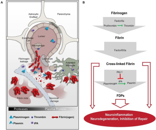 The coagulation and proteolytic cascades at the neurovascular interface. (A) Fibrinogen leakage in the central nervous system (CNS) and activation of the plasminogen activation (PA) system occur following blood-brain-barrier (BBB) disruption. The molecular network of fibrin and the PA system enable inflammation and neurodegeneration via activation of microglia, macrophages, and leukocytes. (B) A series of proteolytic events converts extravasated fibrinogen into insoluble fibrin, which can be cleaved into FDPs. Fibrin and FDPs interact with cellular receptors to induce inflammation, degeneration, and repair inhibition in the nervous system. tPA, tissue plasminogen activator; PAI-1, plasminogen activator inhibitor-1; FDPs, fibrin degradation products.
