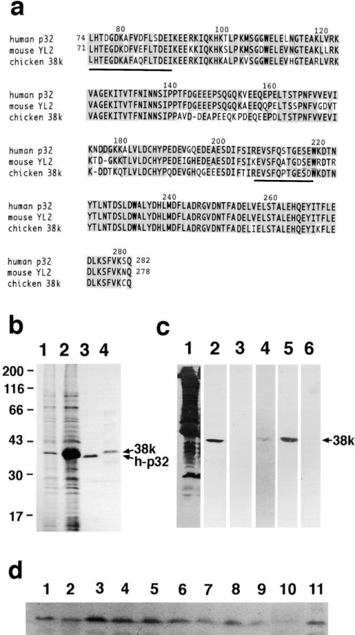 Amino acid sequence of the 38k protein deduced from cDNA sequencing. a, The sequences of the 38k protein as denoted by chicken 38k (GenBank/EMBL/DDBJ accession number AB029946) are aligned with human p32 (GenBank/EMBL/DDBJ identification number, g338043) and mouse YL2 (GenBank/EMBL/DDBJ identification number, g743485). Two sequences of the 38k protein determined by direct amino acid sequencing are underlined. Hatched sequences indicate identical amino acids. b, Expression of human p32 in E. coli. SDS-PAGE pattern of total cell homogenate before (1) and after (2) IPTG induction. Purified human p32 (3) and the 38k protein (4). c, Immunoblotting with anti-38k protein antibody. Total homogenate of chicken gizzard (1, 2, and 3) and the purified 38k protein (4, 5, and 6). Protein staining (1 and 4) and immunostaining with anti-38k protein antibody (2 and 5), and with preimmune serum (3 and 6). 38k and h-p32 denote the bands of the 38k protein and human p32, respectively. d, Expression of the 38k protein in various muscles. The 38k protein was detected in the homogenate of various smooth muscle tissues of rat. Lanes: esophagus (1), stomach (2), duodenum (3), small intestine (4), cecum (5), rectum (6), uterus (7), aorta (8), air way (9), skeletal muscle (10), and cardiac muscle (11). 10 μg of each homogenate were applied.