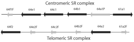 Schematic diagram of the two SR gene complexes in D. grimshawi. The two complexes and their genes are labeled 1 and 2 for the centromeric and telomeric complexes, with intact genes shown as solid boxes, pseudogenes as grey boxes, and pseudogenic gene fragments as short grey boxes. Direction of transcription is shown by arrow heads. Paralogy is indicated by dashed lines. Not to scale.