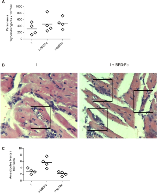 Circulating and tissue parasites in T. cruzi infected mice treated with BR3:Fc.A, Number of circulating parasites in blood samples from T. cruzi infected mice treated with physiological solution (I) or BR3:Fc (I+BR3:Fc) or IgG2a control (I+IgG2a) was determined at days 15 p.i. by counting in Neubauer chamber. B, Photomicrographs from heart sections obtained from T. cruzi infected mice treated with physiological solution (I) or BR3:Fc (I+BR3:Fc) stained with hematoxilina/eosina (400X). Amastigote nests are demarcated with squares. Inset shows one of them (1000X). C, Number of amastigote nests counted in 100 histological fields of hearts. Diamonds represent the value obtained from each mouse. The lines represent the media value in each day p.i. Results are representative for two individual experiments.