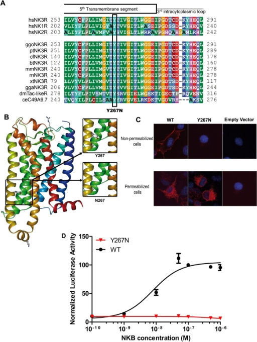 Molecular characterization, functional consequences and modeling of the p.Tyr267Asn TACR3 mutation.Panel A. Evolutionary conservation of Tyr267. Tyr267 is perfectly conserved among NK3R orthologs and paralogs. The substitution is indicated below. Panel B. Modeling of the transmembrane region of NK3R. The tyrosine 267 and its substitution by an asparagine are pointed at the lipid bilayer. This position is extremely unfavorable for a polar residue such as asparagine. Panel C. Subcellular localization of ectopically expressed NK3R and Y267N mutant in non-permeabilized and permeabilized cells. Cells were transfected with the indicated expression vector and then treated for indirect immunofluorescence as described in the Methods section. The nuclei are counterstained by DAPI (blue). Upper panel: Z-stack projection of NK3R distribution in non-permeabilized cells obtained by confocal microscopy. Lower panel: fluorescence micrographs of fixed and permeabilized cells. Note the absence of Y267N NK3R mutant at the membrane (upper) despite its efficient expression in the cell (lower) whereas wild-type NK3R is localized at the plasma membrane. Panel D. NKB dose response of the reporter luc2P/SRE. Increasing concentrations of NKB led to an increase in the luciferase activity of wild-type NK3R (black circles). The mutant NK3R (red triangles) did not significantly enhance luciferase activity.