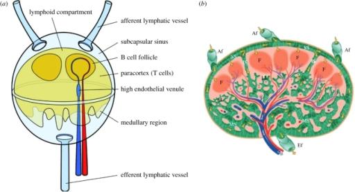 a) Schematic diagram of a lymph node. Lymph flows arou | Open-i