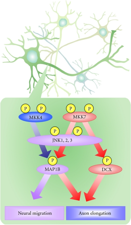 MKK4 and MKK7 have different functions in the developing brain. MKK4 and MKK7 both activate JNKs, which phosphorylate MT-associated proteins such as MAP1B and DCX. Activated MAP1B and DCX regulate neuronal migration and axon elongation in the developing brain. However, JNK activated by MKK4 regulates radial migration but not axon elongation, whereas JNK activated by MKK7 controls both radial migration and axon elongation. These differences between MKK7 and MKK4 functions also appear at the molecular level. The phosphorylation of MAP1B requires that JNK be activated by both MKK4 and MKK7. However, the phosphorylation of DCX requires JNK activation only by MKK7 and not by MKK4.