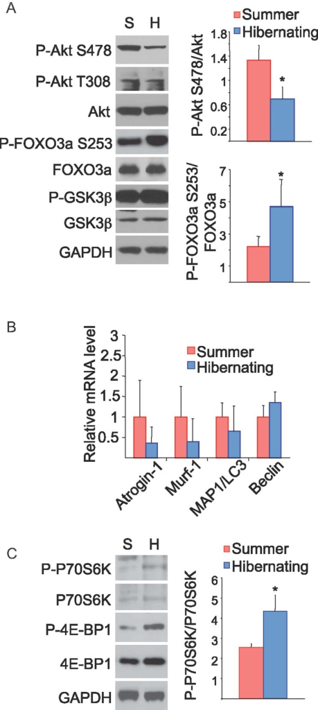Evaluation of protein degradation and synthesis pathwaysWestern blot of quadriceps muscle from summer active (S) and hibernating (H) squirrels using antibodies against the proteins indicated. An increased abundance of P-Foxo3a (serine-253) is accompanied by a decrease in P-Akt (serine-478). Corresponding densitometry of P-Akt and P-Foxo3a as a function of total Akt and Foxo3a.Relative mRNA levels for four Foxo3a downstream targets show no significant changes during hibernation.Western blots analysis of mTOR downstream targets shows significant upregulation of P-P70S6K and P-4E-BP1 during hibernation.