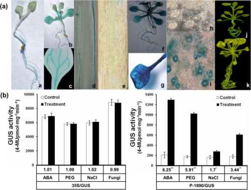 Histochemical straining and measurement of GUS activity in transgenic Arabidopsis thaliana. (a) a: 3-day-old seedling; b: 7-day-old seedling; c: mature leaf; d: root; e: microscopically observed root; f, g, i: transgenic plants treated with 100 μM ABA for 4 h; h: stomata before treatment with ABA; j: the CaMV 35S (pCAMBIA1301 vector) transformants as the positive control; k: non-transgenic Col-0 as the negative control. (b) GUS activity driven by the GbRLK promoter in above-ground tissues of transgenic Arabidopsis in response to ABA, PEG, NaCl and Verticillium dahliae. GUS activity from the CaMV 35S (pCAMBIA1301 vector) transformants served as the control. Data are mean and standard deviations of three replicates. The numbers below the bars indicate the -fold changes in GUS activity. Standard deviations (bars) are indicated. Significance of the changes produced after each treatment was assessed using Student's t-tests (*P < 0.05, **P < 0.01).