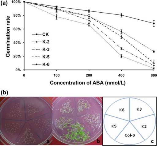 Analysis of 35S::GbRLK transgenic lines subjected to ABA treatment. (a) Germination ratios of transgenic lines and Col-0 on MS medium supplemented with 0, 25, 50, 100, 200, 400 and 800 nmol/L ABA. Standard deviations (bars) are indicated. (b) Analysis of the sensitivity of 35S::GbRLK transgenic lines to MS medium supplemented with 100 nmol/L ABA at different time points. The photographs were taken after 7 and 14 days of treatment in a and b , respectively.