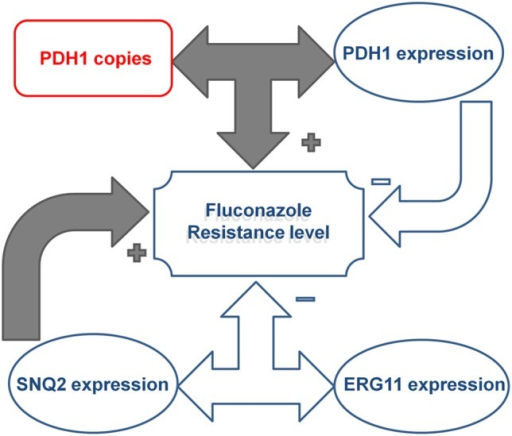 Illustration of the effect of the complex interactions between CgPDH1, CgSNQ2, and CgERG11 drug resistance gene copy numbers and expression levels on fluconazole resistance in Candida glabrata clinical isolates. CgPDH1 gene copy number and expression were correlated, and their interaction led to an increase in fluconazole MIC levels. In contrast, the main effect of CgPDH1 overexpression independently led to a decrease in MIC levels. The main effect of CgSNQ2 overexpression independently promoted an increase in fluconazole MIC levels, while its interaction with CgERG11 expression led to a decrease in MIC levels.