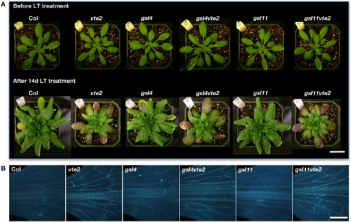 Whole plant and vascular callose phenotypes of Col, vte2, gsl4, gsl4 vte2, gsl11, and gsl11 vte2. All genotypes were grown under permissive conditions for 4 weeks and then transferred to LT conditions for the specified periods previously shown to maximize each phenotype (Maeda et al., 2006). (A) Whole plant phenotype of the indicated genotypes before (top) and after (bottom) 28 days of LT treatment. Bar = 2 cm. (B) Aniline-blue positive fluorescence in the lower portions of leaves after 3 days of LT treatment. Samples for callose staining were fixed in the middle of the light cycle. Representative images are shown (n = 3). Bar = 1 mm.