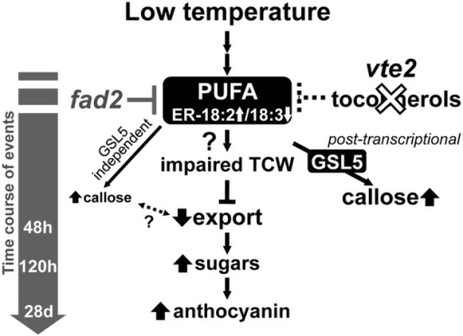 A proposed model of the timing of biochemical changes in LT-induced phenotypes of tocopherol-deficient mutants. Tocopherol deficiency, e.g., by the vte2 mutation, leads to constitutive alterations in the fatty acid composition of endoplasmic reticulum (ER) membrane lipids [i.e., reduced linolenic acid (18:3) and increased linoleic acid (18:2)]. These alterations are suppressed by the mutation of the ER FATTY ACID DESATURASE 2 gene (fad2), which also suppresses all of the LT-induced vte2 phenotypes (Maeda et al., 2008; Song et al., 2010). Subsequent vasculature-specific callose deposition is primarily mediated by the GSL5 enzyme and tocopherol-deficiency affects its activity post-transcriptionally. Although low levels of GSL5-independent callose deposition still occurs, loss of the massive GSL5-dependent callose deposition in transfer cells does not affected the subsequent defect in photoassimilate export in LT-treated vte2.