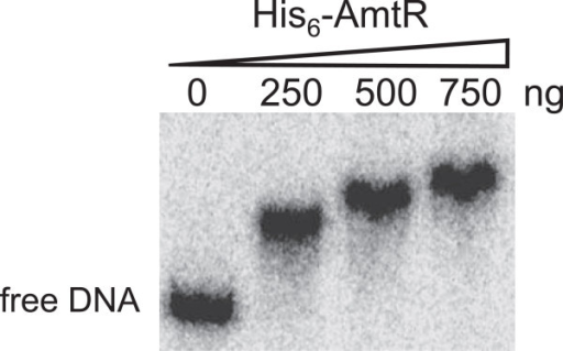 Test of AmtR binding by gel retardation assays. The indicated amounts of purified AmtR proteins were added to a 32P-labeled msmeg_2184 promoter fragment (437 bp) in the presence of 2ug sperm DNA (non-specific).