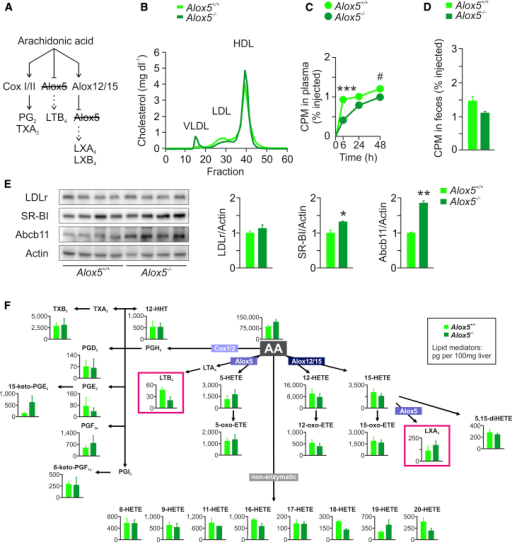 The Role of Alox5 in Abcb11 Regulation and Cholesterol Homeostasis(A) To selectively study the Alox5 pathway, studies in Alox5+/+ and Alox5−/− mice were performed.(B) FPLC analysis of plasma pooled from Alox5+/+ and Alox5−/− mice (n = 5).(C) Plasma [3H]-cholesterol levels at indicated time points and (D) fecal [3H]-sterol levels (0–48 hr) from a macrophage-to-feces RCT study performed in Alox5+/+ and Alox5−/− mice (n = 3).(E) Immunoblot analysis of LDLr, SR-BI, and Abcb11 protein expression in livers of mice (n = 4; bars represent densitometric quantification normalized to actin). Graphs show mean ± SEM, ∗p < 0.05, ∗∗p < 0.01, ∗∗∗p < 0.001.(F) Mediator lipidomics in livers of Alox5+/+ and Alox5−/− mice (n = 3). Graphs show mean ± SEM.
