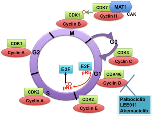 Cyclin-dependent kinases (CDKs) and their cyclin regulatory subunits. CDK-cyclin complexes with direct functions in regulating the cell cycle. CDK3/cyclin C drives cell cycle entry from G0. CDK4/6/cyclin D complexes initiate phosphorylation of the retinoblastoma protein (pRb) and they sequester p21Cip1 and p27kip1 (not shown), which are both inhibitors of CDK2, thus promoting the activation of CDK2/cyclin E complex. In late G1, CDK2/cyclin E complex completes phosphorylation and inactivation of pRb, which releases the E2F transcription factors and G1/S transition takes place. DNA replication takes place in S phase. CDK2/cyclin A complex regulates progression through S phase and CDK1/cyclin A complex through G2 phase in preparation for mitosis (M). Mitosis is initiated by CDK1/cyclin B complex. The activity of CDK1/cyclin B is tightly regulated by activating phosphorylation by the CDK-activating kinase CAK (a heterodimer of cyclin H-CDK7-MAT1) and inhibitory phosphorylations by Wee1 and Myt1 on Tyr15 and Thr14 (not shown). The specific CDK4/CDK6 pharmacological inhibitors described in this study are shown.