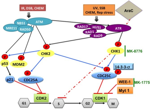 DNA damage pathways and how CHK1-, WEE1-, or CDK1 inhibitors can synergize with cytarabine to increase its DNA damaging efficacy in AML. Ataxia-telangectasia mutated (ATM) protein kinase is activated in response to ionizing radiation (IR), radiomimetic agents, and agents which cause double-strand DNA breaks (DSBs). Ataxia-telangiectasia-related (ATR) protein kinase is activated by a broader range of genotoxic stimuli that result in single-strand DNA breaks (SSB). In addition, ATM can also activate ATR. Initial sensing of DNA damage can also be mediated by the NBS1-MRE11-RAD50 complex and by RAD17-RAD1-HUS1-RAD9 at the site of DNA breaks. This is followed by phosphorylating CHK2, p53, MDM2 and CHK1, which mediate cell cycle checkpoint responses to arrest the cells until DNA damage is repaired. Activated p53 will induce p21 and the CDC25A protein, which inhibit CDK2 and prevents G1/S transition. Altered phosphorylation (by CHK1) or cytoplasmic sequestration of CDC25C (by 14-3-3σ) will inactivate CDK1/cyclin B preventing cells from entering mitosis. CHK1 also phosphorylates/activates WEE-1, which phosphorylates and inactivates CDK1/cyclin B complex on Tyr15 residue, resulting in cell cycle arrest at G2, allowing time for DNA repair. In AML, treatment with cytarabine (Ara-C) activates the DNA damage pathway through CHK1, which stabilizes stalled replication fork and induces S phase arrest. This will allow DNA damage induced by Ara-C to be repaired. To increase the DNA damaging efficacy of Ara-C the checkpoint pathway can be blocked by a selective CHK1 inhibitor such as MK-8776 that overrides the S-phase checkpoint activation. To overcome the G2/M checkpoint blocking WEE-1 kinase using the selective inhibitor MK-1775 will result in CDK1 activation and cells die due to accumulation of genetic lesions. CHEM, genotoxic chemicals; Rep stress, replication stress; UV, ultra violet radiation.