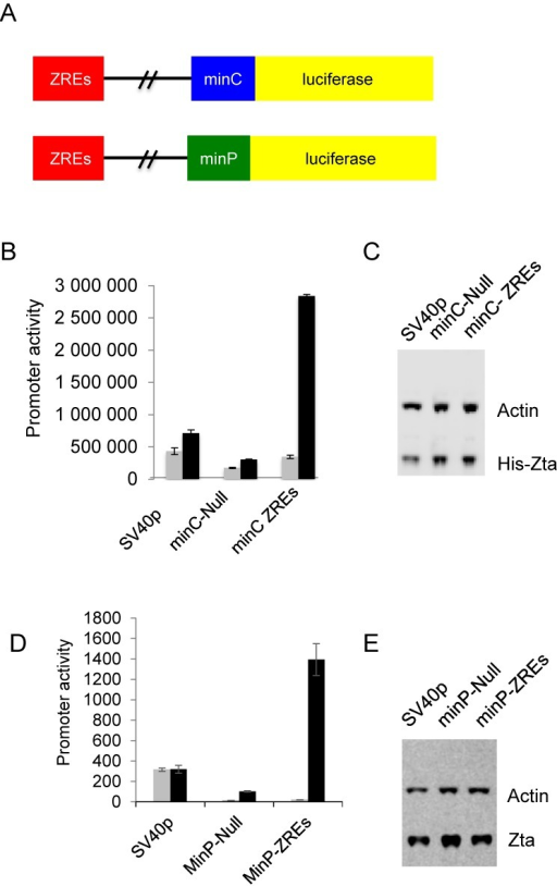 Zta can activate gene expression through a long-range element. (A) A synthetic element containing tandem ZREs was cloned 2.2 kb from either of two minimal promoters (minC and minP) in the pGL3 control luciferase reporter plasmid. (B) Promoter activities of the pGL3 based plasmids SV40p, minC-Null and minC ZREs in the presence (black) and absence (gray) of His-Zta expression in the EBV negative BL cell line (DG75). The relative luciferase activity is shown as promoter activity together with the standard deviation from three replicates. (C) Western blot analysis of Zta and Actin from samples in (B). (D) Promoter activity of the minP-Null and minP-ZREs reporters in the presence and absence of His-Zta expression in the EBV negative BL cell line (DG75). The relative luciferase activity is shown as promoter activity together with the standard deviation from three replicates. (E) Western blot analysis of Zta and actin from samples in (B).