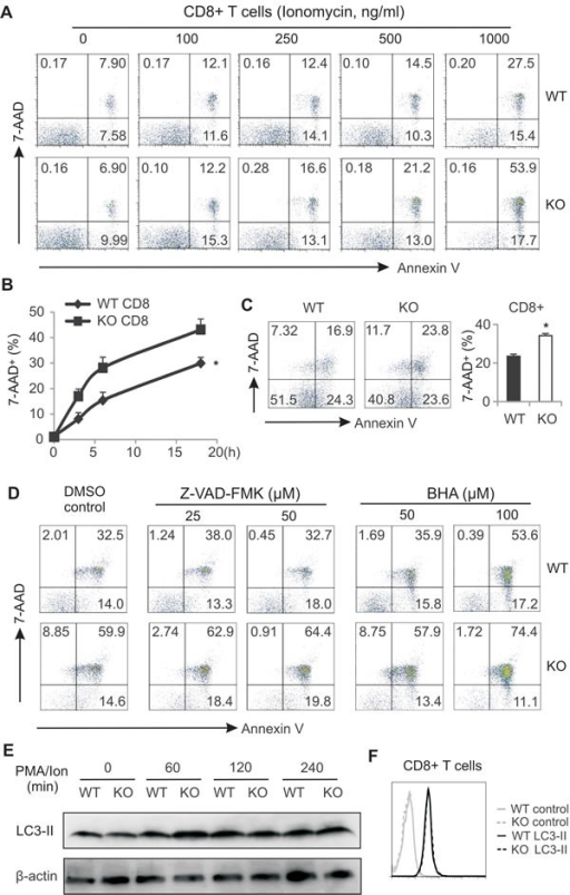 AMPK deficiency promotes CD8 T cell death during activationA, cells from LNs of WT and AMPK KO mice were stimulated with PMA (10ng/ml) plus indicated concentrations of ionomycin for 6 hours. Flow cytometric staining for 7-AAD and Annexin V in CD8+ T cells. B, cells from LNs of WT and KO mice were stimulated with PMA (10ng/ml)/ionomycin (500ng/ml) for indicated time periods. CD8+ T cell death was analyzed by flow cytometric staining of 7-AAD (*, p<0.05). C, cells from LNs of WT and KO were stimulated with anti-CD3/CD28 for 48h and CD8+ T cell death was analyzed by flow cytometric staining. Average cell death was shown in the right panel (*, p<0.05). D, cells from LNs were stimulated with PMA/ionomycin in the presence or absence of indicated concentrations of Z-VAD-FMK or BHA for 6h. Cell death in CD8+ T cells was analyzed by flow staining for 7-AAD and Annexin V. E, western blot analysis of LC-3A/3B expression in PMA/ion-stimulated CD8+ T cells as indicated time points. F, intracellular staining for LC-3A/3B expression in CD8+ T cells after stimulation with PMA/ionomycin for 6h. Data shown are representative of 3 experiments.