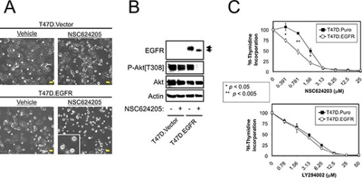 Forced EGFR Expression Sensitizes Cells to EGFR/HER2/HER3-targeted CompoundsA. Vector control or EGFR overexpressing T47D cells were treated with 20 μM NSC624205 or vehicle for 24 hours and photographed. Extensive cell death was observed in the T47D.EGFR cells, but not the T47D.Vector cells. B. Cells treated as in a. were subjected to immunoblot analysis. C. Thymidine incorporation of vector control (T47D.Puro) or EGFR overexpressing (T47D.EGFR) cells treated for 24 hours with increasing concentrations of NSC624203 or LY294002. p values were calculated using Student's unpaired t-test. Results are presented as the average of triplicate determinations ± S.D. Scale bars are 20 μm.