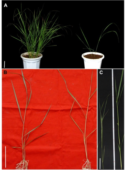 Phenotype of switchgrass mutants ht and lt. (A) Phenotype of two mutants at the first generation after mutagenesis. (B) Young seedling of ht and lt obtained by asexual propagation. (C) Tillers of ht and lt at heading stage. Left: ht, Right: lt. Bars = 10 cm.