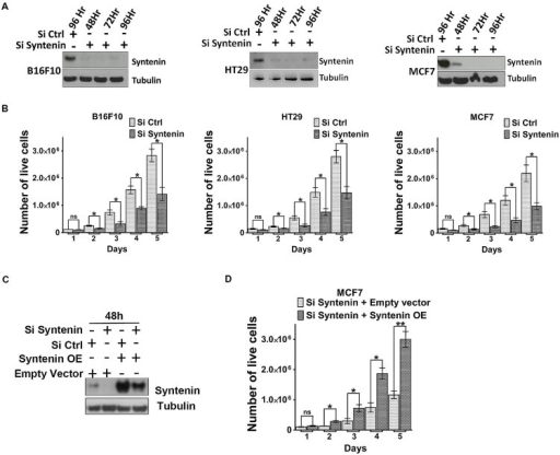 Syntenin loss-of-function leads to reduced proliferation in different cancer cell models. (A) Western blots illustrating syntenin expression levels, at different time point, in B16F10, HT29, and MCF7 cells, after transfection with non-targeting (Si Ctrl) or syntenin (Si Syntenin) siRNAs. Tubulin was used as a loading control. (B) Bar graphs indicate the absolute number of living cells measured after different days of culture, as indicated. Note that significant differences were already observed at day 2. n = 3, bars represent mean value ± SD, n.s., non-significant, ∗P < 0.05 (Student's t-test). (C) Western blots illustrating Syntenin expression levels in MCF7 cells 48 h after transfection with different constructs, as indicated. SiRNA Syntenin (Si Syntenin); non-targeting siRNA (Si Ctrl); expression vector for human Syntenin non-tagged and mutated for the siRNA targeting sequence (Syntenin OE); empty expression vector (Empty vector). Tubulin was used as loading control. (D) Bar graph indicating the absolute number of living MCF7 cells in Syntenin rescue experiments after different days in culture. n = 3, bars represent mean value ± SD, n.s., non-significant, ∗P < 0.05, ∗∗P < 0.01 (Student's t-test).