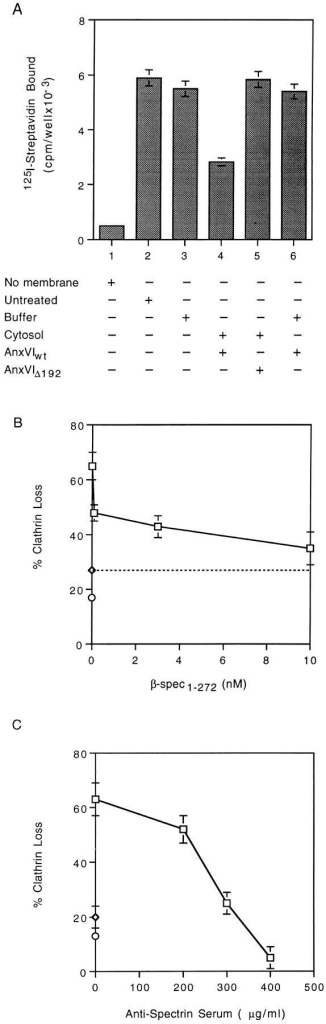 Spectrin loss from membranes (A) accompanies budding (B and C) of coated pits. (A) Attached membranes were  warmed to 37°C for 10 min in the presence of buffer alone (bar  3), buffer plus AnxVIwt (bar 6), cytosol plus AnxVIwt (bar 4), or  cytosol plus AnxVIΔ192 (bar 5). All wells were then assayed for  the presence of spectrin as described. Background was 500 cpm/ well. (B) Attached membranes were incubated for 10 min at 37°C  in the presence of cytosol alone (⋄, dashed line) or cytosol containing 1 nM AnxVIwt plus the indicated concentration of β-spectrin peptide (□). At the end of the incubation, the amount of  clathrin loss was measured as described. Maximum clathrin value  was 30,216 cpm/well with a background of 1,859 cpm/well. (C)  Attached membranes were incubated for 10 min at 37°C in the  presence of cytosol (⋄, on the ordinate) or cytosol containing 1  nM AnxVIwt plus the indicated concentration of rabbit antihuman spectrin serum (□). At the end of the incubation, the amount  of clathrin loss was measured as described. Maximum clathrin  value was 28,125 cpm/well with a background of 1,407 cpm/well.  All values are the average of triplicate measurements ± the standard deviation.