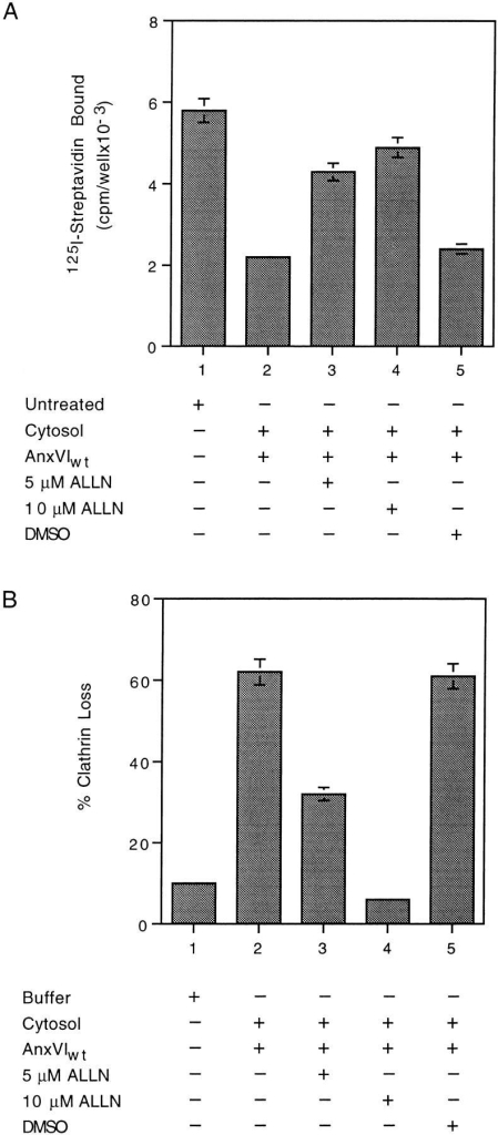ALLN inhibits loss of spectrin (A) and coated pit budding (B) in vitro. (A) Attached membranes were either not  treated (bar 1) or incubated at 37°C for 10 min in the presence of  cytosol (bars 2–5) containing the indicated additions. At the end  of the incubation, the membranes were assayed for the amount of  spectrin as described. (B) Attached membranes were incubated  at 37°C in the presence of either buffer (bar 1) or cytosol (bars 2–5)  containing the indicated additions. At the end of the incubation,  the percent loss of clathrin was measured as described. Maximum  clathrin value was 29,098 cpm/well with a background of 1,114  cpm/well. All values are the average of triplicate measurements ±  the standard deviation.