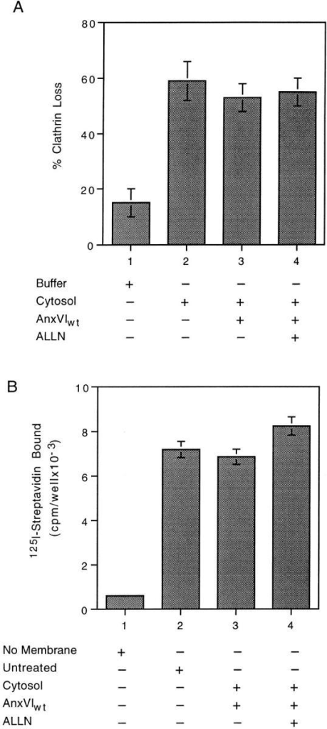 Budding (A) is no longer linked to spectrin loss (B) in  membranes from ALLN-treated cells. (A) Attached membranes  obtained from cells incubated in the presence of ALLN for 1 h  were warmed to 37°C in the presence of buffer alone (bar 1) or  warmed in the presence of cytosol (bars 2–4) containing the indicated additions. At the end of the incubation, the percent loss of  clathrin was measured as described. Maximum clathrin value was  58,321 cpm/well with a background of 2,536. (B) Attached membranes obtained from cells incubated in the presence of ALLN  for 1 h were either not treated (bar 2) or warmed to 37°C for 10  min in the presence of cytosol (bars 3 and 4) containing the indicated additions. At the end of the incubation, the membranes  were assayed for the amount of spectrin as described. Background binding is shown in bar 1. In both experiments, each value  is the average of triplicate measurements ± the standard deviation.