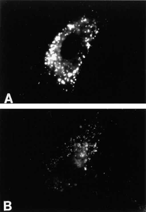 Endosomes are  mislocalized (A and B) in  cells incubated in the presence of ALLN. Human fibroblasts were incubated in the  presence (B) or absence (A)  of 500 μM ALLN for 1 h at  37°C before the addition of  25 μg/ml of fluorescent LDL.  The cells were incubated an  additional 90 min before direct visualization.