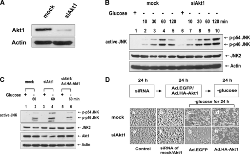 Role of Akt1 in glucose deprivation–induced JNK activation and morphological damage. (A and B) DU-145 cells were transfected with Akt1 siRNA or mock siRNA and were incubated for 36 h. (A) Akt1 protein expression was assessed by immunoblotting with anti-Akt1 antibody. (B) Cells were exposed to glucose-free medium for various times (10–120 min). Cell lysates were immunoblotted with anti–ACTIVE JNK, anti-JNK2, or antiactin antibody. (C and D) DU-145 cells were transfected with Akt1 or mock siRNA. After 24 of incubation, cells were infected with Ad.EGFP or Ad.HA-Akt1 at an MOI of 10. After 24 h of infection, cells were exposed to glucose-free medium for 60 min (C) or for 24 h (D). (C) Cell lysates were immunoblotted with anti–ACTIVE JNK, anti-JNK2, anti-Akt1, or antiactin antibody. (D) Morphology was evaluated with a phase-contrast microscope.