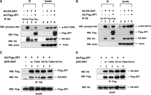 Phosphorylation of Akt on Thr-308 and Ser-473 and its role in the association of Akt1 with JIP1. (A and B) DU-145 cells were infected with adenoviral vector containing HA-tagged Akt1 (Ad.HA-Akt1) and/or Ad.Flag-JIP1 at an MOI of 10. After 48 h of infection, cells were lysed. Lysates were immunoprecipitated with anti-HA antibody or anti-Flag antibody. Immunoprecipitated proteins and lysates were separated by SDS-PAGE and were immunoblotted with anti–phospho–Thr-308–Akt, anti–phospho–Ser-473–Akt, anti-Flag, anti-HA, or antiactin antibody. (C and D) DU-145 cells were transfected with pHA-Akt1 (wild type), pHA-Akt1 (Thr-308A), pHA-Akt1 (Ser-473A), or pHA-Akt1 (Thr-308A + Ser-473A) plasmids and were infected with Ad.Flag-JIP1 at an MOI of 10. After 48 h of incubation, cells were lysed. Cell lysates were immunoprecipitated with anti-HA antibody (C) or anti-Flag antibody (D) and were immunoblotted with anti-Flag or anti-HA antibody (top). The presence of Flag-JIP1 or HA-Akt1 in the lysates was verified by immunoblotting with anti-Flag antibody or anti-HA antibody, respectively (bottom).