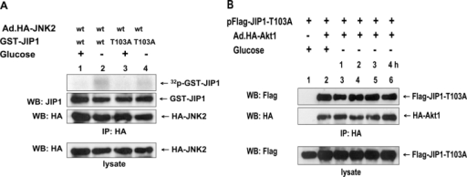 Phosphorylation of JIP1 on Thr-103 and its role in the dissociation of JIP1 from Akt1 during glucose deprivation. (A) DU-145 cells were infected with Ad.HA-JNK2 at an MOI of 10. After 48 h of infection, cells were exposed to glucose-free medium for 1 h and lysed. Cell lysates were immunoprecipitated with anti-HA antibody. To examine which amino acid residue of JIP1 can be phosphorylated by JNK2, 0.5 μg GST-JIP1 (wild type) or GST-JIP1–Thr-103A (mutant type) was incubated with immunoprecipitated HA-JNK2 in kinase buffer containing 100 μCi/ml γ-[32P]ATP at 30°C for 1 h. Phosphorylated proteins were resolved by SDS-PAGE and were analyzed by autoradiography. The presence of GST-JIP1 and HA-JNK2 in the kinase buffer was verified by immunoblotting with anti-JIP1 antibody and anti-HA antibody, respectively (top). The presence of HA-JNK2 in the lysates was verified by immunoblotting with anti-HA antibody (bottom). (B) DU-145 cells were transfected with pFlag-JIP1–Thr-103A and infected with Ad.HA-Akt1. After 48 h of incubation, cells were exposed to glucose-free medium for various times (1–4 h). Lysates were immunoprecipitated with anti-HA antibody and were immunoblotted with anti-Flag or anti-HA antibody (top). The presence of Flag-JIP1–Thr-103A in the lysates was verified by immunoblotting with anti-Flag antibody (bottom).