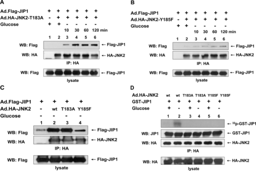 Role of Thr-183 and Tyr-185 residues of JNK2 in glucose deprivation–induced JNK2–JIP1 interaction or JIP1 phosphorylation. DU-145 cells were coinfected with Ad.Flag-JIP1 and adenoviral vector containing HA-tagged wild-type JNK2 (Ad.HA-JNK2-wt), Thr-183A mutant-type JNK2 (Ad.HA-JNK2–Thr-183A), or Y185F mutant-type JNK2 (Ad.HA-JNK2-Y185F) at an MOI of 10. After 48 h of infection, cells were exposed to glucose-free medium for various times (A and B) or for 60 min (C and D) and were lysed. (A–C) Lysates were immunoprecipitated with anti-HA antibody and were immunoblotted with anti-Flag or anti-HA antibody (top). The presence of Flag-JIP1 in the lysates was verified by immunoblotting with anti-Flag antibody (bottom). (D) Cell lysates were immunoprecipitated with anti-HA antibody. To examine which types of JNK2 can phosphorylate JIP1, 0.5 μg GST-JIP1 was incubated with immunoprecipitated HA-JNK2 in kinase buffer containing 100 μCi/ml γ-[32P]ATP at 30°C for 1 h. Phosphorylated proteins were resolved by SDS-PAGE and were analyzed by autoradiography. The presence of GST-JIP1 and HA-JNK2 in the kinase buffer was verified by immunoblotting with anti-JIP1 antibody and anti-HA antibody, respectively (top). The presence of HA-JNK2 in the lysates was verified by immunoblotting with anti-HA antibody (bottom).