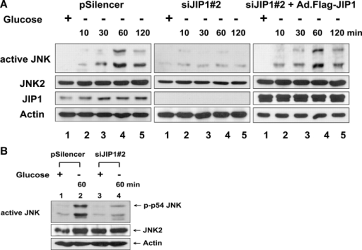 Glucose deprivation–induced JNK activation in control plasmid (pSilencer), pSilencer-siJIP1 stably transfected siJIP1#2, or Ad.Flag-JIP1–infected siJIP1#2 cells. Cells were exposed to glucose-free medium for various times (10–120 min; A) or for 60 min (B). Cell lysates were immunoblotted with anti–ACTIVE JNK, anti-JNK2, anti-JIP1, or antiactin antibody.