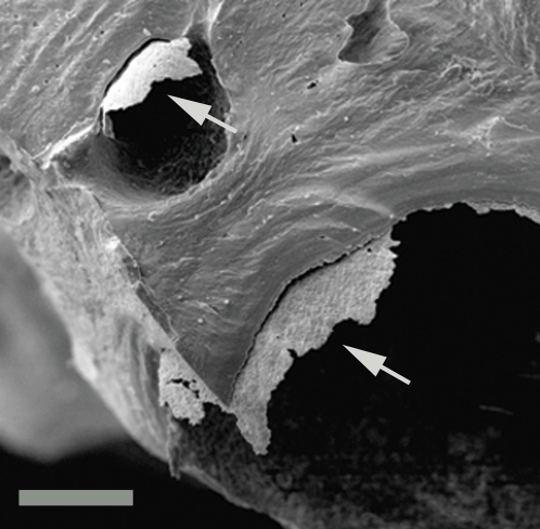 Coatings on vascular canal walls.SEM image of fractured bone showing coatings naturally peeling from vascular canal walls. UWBM 89324 Scale bar, 150 µm.