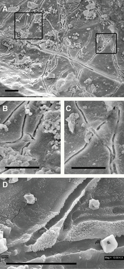 Bridging trough structures.(A) Vascular canal showing crack-like morphologies which are actually troughs, suggesting that organisms moved through a viscous medium. (B and C) Close-ups of bridged structures that are inconsistent with inorganic processes. (D) High magnification of additional trough structures showing rounded bottoms and branching morphology. UWBM 89322 Scale bars, 5 µm.