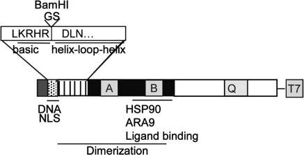 Schematic of the functional domains of the AHR protein. The enlarged portion depicts the GS insertion between the last residue of the basic domain and the first residue of the HLH domain, thereby introducing a BamHI restriction site.