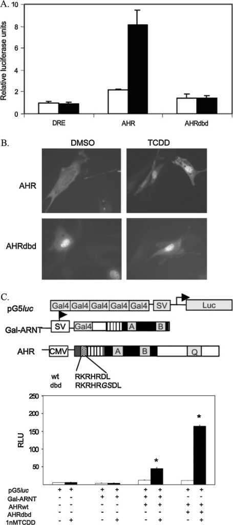 "Cellular characterization of the AHRdbd protein. (A) Luciferase assay for DRE-driven transcription. Ahr−/− 3T3 fibroblasts were transfected with equal amounts of DRE-Luc (PL256) and either AHR or AHRdbd recombinant cDNAs. Cells were then treated with 1nM TCDD (black bars) or 0.1% DMSO alone (white bars) for 24 h. Values represent relative luciferase units normalized to total protein levels. (B) Subcellular localization of AHRdbd. Indirect immunofluorescence was used to identify the subcellular localization of AHRdbd in Ahr−/− 3T3 fibroblasts transiently transfected with either Ahr+/+ or Ahrdbd/dbd. Prior to staining, nuclear translocation was induced by exposure of cells to 1nM TCDD for 2 h prior to staining. (C) Mammalian 2-hybrid analysis of AHRdbd interactions. The schematic diagram depicts the reporter construct (pG5luc), the ""bait"" construct (Gal-ARNT), and the ""fish"" construct (AHR), showing the amino acid sequence of the basic region in wild-type (wt) and AHRdbd (dbd) recombinant proteins. The two-hybrid analysis was carried out using equal amounts (0.33 μg) of transiently transfected Gal-ARNT and either wild-type AHR or AHRdbd, followed by incubation with 0.1% DMSO or 1nM TCDD. Values are expressed as relative luciferase units (*p < 0.001)."