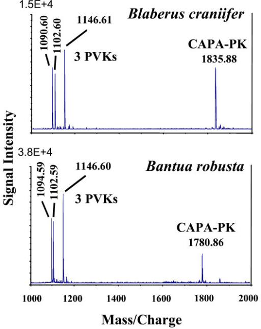 Comparison of MALDI-TOF mass spectra (mass range 1000–2000 Da) of single abdominal PSO preparations of Blaberus craniifer and Bantua robusta (= peptide hormone fingerprint). Only few abundant substances are detectable. Underlying sequences were used for phylogenetic analyses.