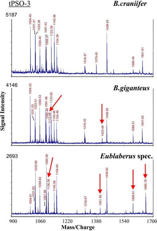 MALDI-TOF mass spectra (neuropeptide mass fingerprints) from single thoracic PSO preparations of three Blaberus/Eublaberus species, representing FMRFamide related peptides which accumulate in the neurohaemal organs of insects (see Predel et al. 2004). The selected species were not distinguishable by screening the CAPA peptides from abdominal PSOs. All ion signals different from those of B. craniifer are marked. Such fingerprint data exist from all neurohaemal organs of all cockroach species investigated.