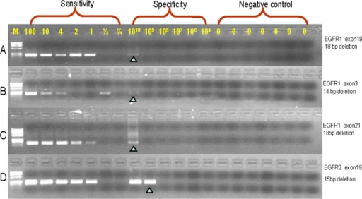 MAP detects deletions in human DNA with an analytical selectivity >108.Four assays were established to test the MAP analytical sensitivity and analytical specificity (labeled by copy number). The analytical sensitivities of each assay are one copy and analytical specificities are >1×108 copy. From top to bottom panels, primer mismatches with the wild type template were 4, 4, 4 and 6 nucleotides, respectively. The presence of a signal at a mean of one copy of the mutant template is predicted to be 63% based on the Poisson distribution due to random sampling, consistent with the absence of signal in some reactions with one copy of mutant template.