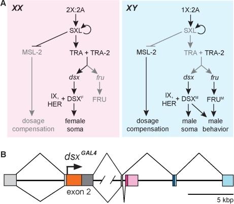 genomics of sex determination in drosophila melanogaster in Iowa