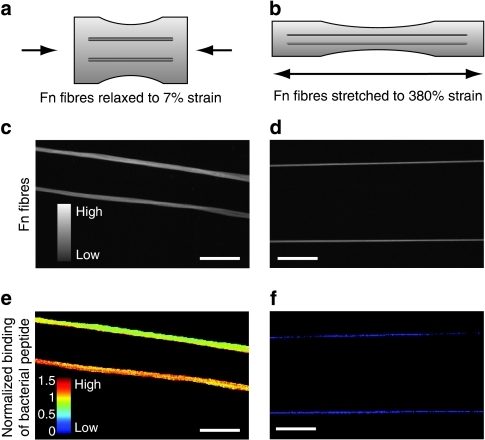 Binding of photolabelled bacterial peptide B3C to Fn fibres.Schematic representation of Fn fibres (a) relaxed and (b) stretched on elastic silicone substrates manipulated using a uniaxial mechanical straining device26. Confocal micrographs depicting fluorescence intensity values of (c) relaxed and (d) stretched Fn fibres. Corresponding confocal images of the same fibres as shown in c and d, indicating the normalized intensity ratios of B3C-488 versus Fn-Cy5 in false colours for (e) relaxed and (f) stretched Fn fibres. Fibres were deposited in parallel arrangements to increase the sample size for each strain value. Scale bar: 50 μm.