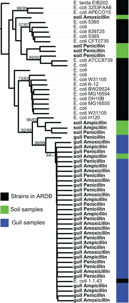 Phylogenetic tree of the bl1_ec type class C β-lactamase gene from metagenomic clones and sequenced representative strains from ARDB. The sequenced clones are from samples from gulls or soil, whereas we did not detect any bl1_ec type clones in samples from wastewater. Metagenomic clones were isolated on ampicillin, amoxicillin, or penicillin as listed for each entry. The phylogenetic tree is a majority rule consensus tree based on protein similarity using neighbor-joining. Bootstrap values (total 100) are calculated with neighbor-joining and maximum likelihood methods. Edwardsiella tarda sp. EIB202 is the outgroup.